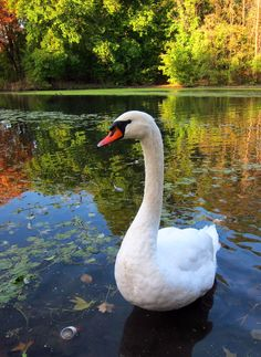Mute swan, Prospect Park, New York. Swan Pictures, Pictures To Draw, My Beautiful Friend, Beautiful Birds, Water Drop On Leaf, Animals And Pets, Cute Animals, Trumpeter Swan, Mute Swan