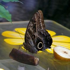 You probably know that butterflies are attracted to certain flowers, but you may be surprised to learn that butterflies like sweet, fruity treats as well. Butterfly feeders are simple to make and can help attract butterflies to your garden. Butterfly Food, Butterfly Feeder, Simple Butterfly, Butterfly Kisses, Monarch Butterfly, Butterfly Crafts, Lawn And Garden, Garden Art, Butterfly Migration