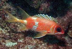 squirrelfish | Found on ecodives-keywest.com