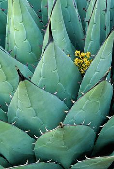 ✯ Century Plant (Agave, Aloe) in Guadalupe Mountains, Texas