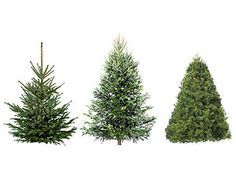 How to Pick the Perfect Christmas Tree: Scotch Pine, Douglas Fir, White Pine