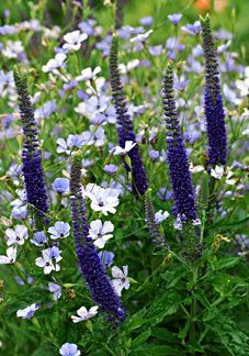 So lovely: These are the poster's comments: Veronica spicata 'Sunny Border Blue'. And it looks as if it's paired with Phlox divaricata? Anyway, the dark and light blues look terrific. Purple Flowers, Wild Flowers, Beautiful Flowers, Purple Garden, Colorful Garden, Garden Borders, White Gardens, Plantation, Gras