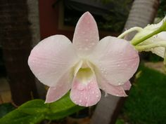 blush dendrobium orchid - Google Search