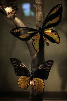 "Wallace's Golden Birdwing(Ornithoptera Croesus ) only found in The Moluccas(an archipelago in Indonesia). First found by Wallace in 1859 , he wrote ""On taking it out of my net and opening the glorious wings, my heart began to beat violently, the blood rushed to my head, and I felt much more like fainting than I have done when in apprehension of immediate death. I had a headache the rest of the day, so great was the excitement produced by what will appear to most people a very inadequate…"