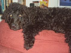Amy Malanis Roxy my adorable Irish Water Spaniel