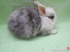 Króliczki miniaturki - Sprzedajemy.pl Rabbits, Cute Animals, Pretty Animals, Cutest Animals, Cute Funny Animals, Bunny, Rabbit, Bunnies