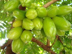 Selain buahnya yang dipakai untuk bahan masakan, daun belimbing wuluh (direbus, diminum airnya) berkhasiat mengobati sariawan. Anda juga bisa mengoleskan daunnya untuk obat rematik dan gondongan, atau mengkonsumsi langsung buahnya untuk mengatasi gusi berdarah. http://kemanaajaboleeh.com/2015/02/memilih-tanaman-obat-di-kebun-rumah/9/ #kemanaajaboleh