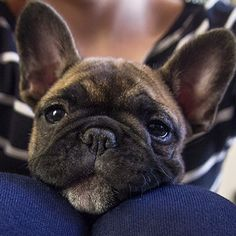 Frenchie face! French Bulldog Puppy