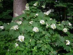 Hydrangea quercifolia - Oakleaf hydrangea - Zone 5 - HxS: x Oakleaf Hydrangea Landscape, Hydrangea Landscaping, Landscaping Ideas, Climbing Hydrangea, Hydrangea Bush, Hydrangeas, Shade Shrubs, Shade Plants, Spring Flowers
