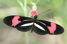 Red Postman (Heliconius erato - open wings) is one of about 40 Neotropical species of butterfly belonging to the genus Heliconius. It is also commonly known as the Small Postman, the Red Passion Flower Butterfly, or the Crimson-patched Longwing.