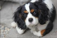 Milo, my tricolor Cavalier King Charles Spaniel <3