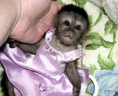 Capuchin Monkey for sale. In Brooklyn. I thought this only happened in the movies.