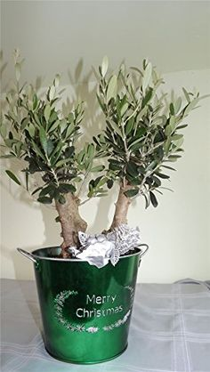 Green merry christmas pail with double stem olive tree - For early birds delivery in first week of december or before at your request. Gifts for her gifts for him gifts for mum, gift for dad, gift for aunty, gift for uncle, gift for grandad, gift for nan, gift for brother, gift for sister, gift for friend Best4garden http://www.amazon.co.uk/dp/B00OLY81XE/ref=cm_sw_r_pi_dp_Cr4rub05SYYWJ