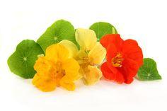 Liečivé rastliny - Kapucínka väčšia