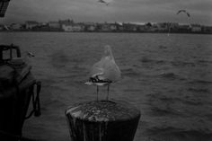 """Just a little picture of a Segull looking out over the coast line in Skerries, Co. Shot on black and white film. Shot, developed and printed by myself. Link is to my Photography account Jump over and leave a """"📌"""" if you're from here! Color Photography, Film Photography, Digital Photography, 35mm Film, Black And White Photography, Dublin, Coast, Printed, World"""