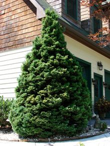 Spartan Juniper - Fast Growing Trees Nursery - Privacy Trees - Natural Privacy For the Home