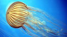 Méduse striée | Aquarium La Rochelle - Site Officiel