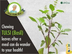 Chewing TULSI (Basil) leaves after a meal can do wonder to your health! It act as antacid as it helps the body absorb food and prevents reflux and the formation of ulcers. Share & Spread this great tip!