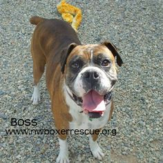 Boss is a handsome 5 year old brindle boy being fostered in Spokane WA.  Find out more about him on our website -   www.nwboxerrescue.org or our Facebook page -   www.facebook.com/northwestboxerrescue