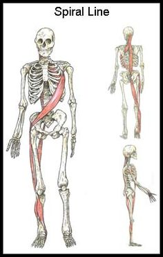"""The Body's """"Spiral Line"""" (and Why You Should Do Things Like Side Lying Windmills and Cable Chops/Raises) Fascia Stretching, Itbs Stretches, Exercises, Workouts, Spiral Line, Psoas Release, Muscle Anatomy, Sport Fitness, Anatomy And Physiology"""