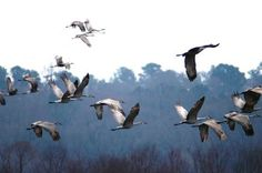 The Calling of Cranes | Center for Humans & Nature