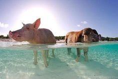Nadar con los cerdos en las Bahamas (GALERIA)