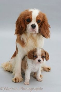 King Charles mother and pup