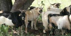 Livestock guardian dogs. Article by Suzanne Gasparotto.