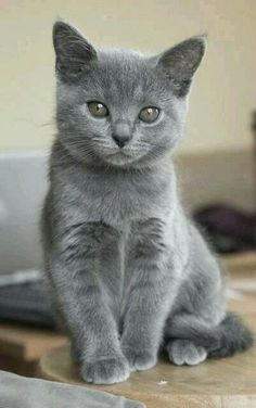 If you are looking for a truly unique and beautiful kitten you don't have to look much further than the Russian Blue breed. Delightful Discover The Russian Blue Cats Ideas. Cute Cats And Kittens, I Love Cats, Kittens Cutest, Fluffy Kittens, Blue Cats, Grey Cats, Gray Kitten, White Cats, Russian Blue Kitten