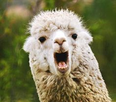 Top 5 Llama Outfitters for Your Next Backpacking Adventure Llama Puns, Funny Llama, Cute Llama, Alpacas, Apocalypse Movies, Viking Names, Llama Pictures, Funny Animals, Cute Animals