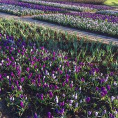 ..baby tulips!  #keukenhof #keukenhof2016 #uploadkompakan #ukpurplepetals #unyu #flowerpower by kurcil