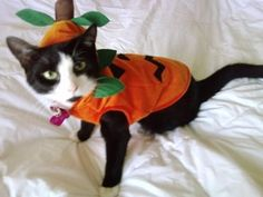 Our cat, Lily, dressed for Halloween Pet Halloween Costumes, Pet Costumes, Daily Record, Costume Contest, Your Pet, Photo Galleries, Lily, Gallery