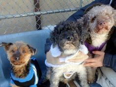 New York Animal Care and Control in Manhattan. Owner cites 'personal problems' as reason for surrendering seniors. URGENT rescue needed to save them Cavalier Rescue, Disabled Dog, Pet Adoption, Animal Adoption, Animal Rescue, Rescue Dogs, Small Breed, Animal Rights, Pet Care