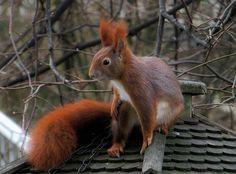 En atypisk gæst på fodrebrætter - det lille søde egern, som typisk tiltrækkes af brød, frø og korn der ligger på brættet.