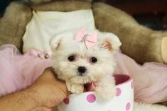 Maltese Teacup Puppi Teacup Puppies For Sale Puppies For Sale