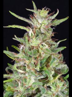 Tangie is one of the most in-demand Sativas on the market today. It's a cross of old-school Orange and the infamous Skunk Bountiful Harvest, Cannabis, Seeds, California, Orange, Big, School, Flowers, Beautiful