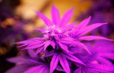 marijuana photo backgrounds