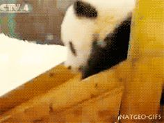 We Know Which Cute Baby Panda GIF You Need To See Today