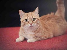 HARIETTE - URGENT - VAUGHAN ANIMAL SERVICES in Vaughan, ON - Adult Spayed Female Domestic SH
