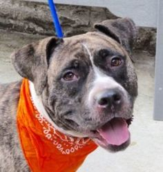 FAITH – A1085574  FEMALE, BR BRINDLE / WHITE, AM PIT BULL TER / AMERICAN STAFF, 3 yrs STRAY – STRAY WAIT, HOLD FOR ID Reason ABANDON Intake condition UNSPECIFIE Intake Date 08/16/2016, From NY 10459, DueOut Date 08/23/2016, I came in with Group/Litter #K16-070185.