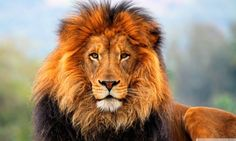Lion HD desktop wallpaper : Widescreen : Fullscreen : Mobile ...