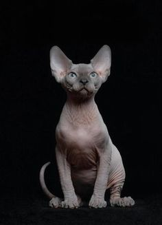"""I don't care how """"ugly"""" they are. I'm getting one and they are so ugly they are cute! I Love Cats, Crazy Cats, Cool Cats, Gatos Cool, Sphinx Cat, Rex Cat, Kitten Care, Cat Carrier, Outdoor Cats"""
