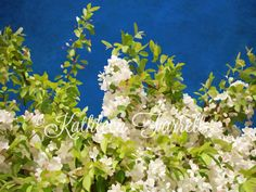 """""""White Flowers"""". If you hadn't already noticed, I love summer! And beautiful flowers like these are a big reason why. I could just look at these all day long..... To create this illustrated photographic print, I carefully and lovingly digitally """"painted"""" it by hand, creating an entirely new image. The tools I use are a Musemee fine point stylus with my Apple iPad and a Wacom Bamboo tablet with my Apple iMac. Each original photograph is completely redrawn by hand - every inch of it. I…"""