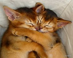 Abyssinian cat | Mieszkam z kotem