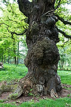 Oak Tree - In Germany, this is the fairies' favorite dwelling place, and they are especially fond of dancing around it.