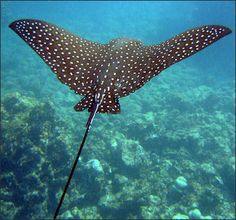 Spotted Eagle Ray ~ One of the largest Eagle Rays, it sometimes exceeds 10 feet in width and can weigh 400 to 500 pounds. Found in the tropical zones of the Atlantic, Pacific and Indian oceans.