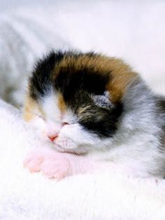 Tommy And Tia-Scottish Fold Kittens