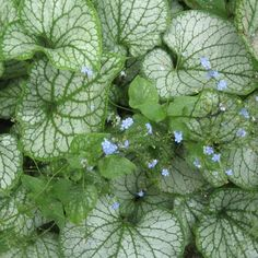 Brunnera macrophylla - Jack Frost - perennial of 2012 - loves shade, striking silvery-green leaves, small blue flowers - easy to grow perennials Dwarf Plants, Tall Plants, Shade Plants, Part Shade Perennials, Sun Perennials, Sun Plants, Hydrangea Bush, Hydrangea Macrophylla, Perennial Ground Cover