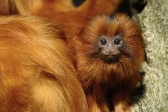 Baby TamarinCredit: Eric Gevaert, ShutterstockA close-up of a baby golden lion tamarin reveals the mane that gives this species its name.