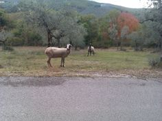 These two kept running in front of our car.. so I had to get out to chase them away.. they did not feel a bit sorry.